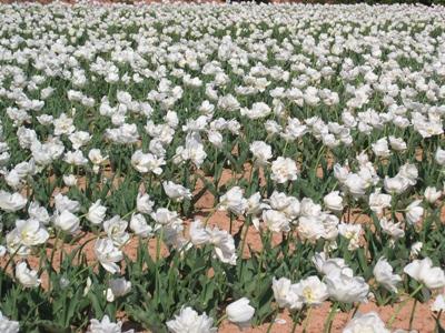 チューリップ祭_世羅高原農場_20110508_10_hp.jpg