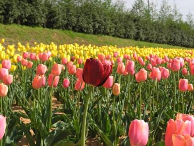 チューリップ祭_世羅高原農場_20110508_17_hp.jpg