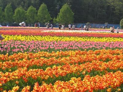 チューリップ祭_世羅高原農場_20110508_33_hp.jpg