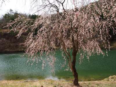 枝垂れ桜_甲山ふれあいの里_20130415_10_hp.jpg