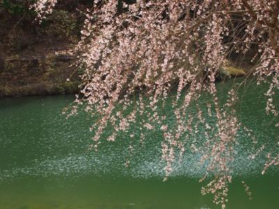 枝垂れ桜_甲山ふれあいの里_20130415_11_hp.jpg