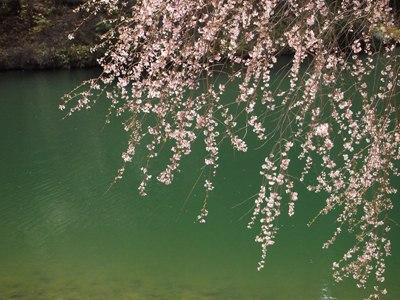 枝垂れ桜_甲山ふれあいの里_20130415_12_hp.jpg
