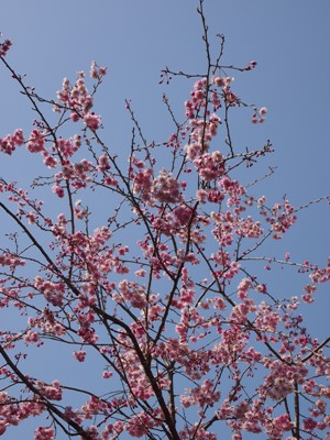 枝垂れ桜_甲山ふれあいの里_20130415_17_hp.jpg