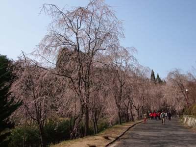 枝垂れ桜_甲山ふれあいの里_20130415_19_hp.jpg