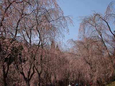 枝垂れ桜_甲山ふれあいの里_20130415_22_hp.jpg