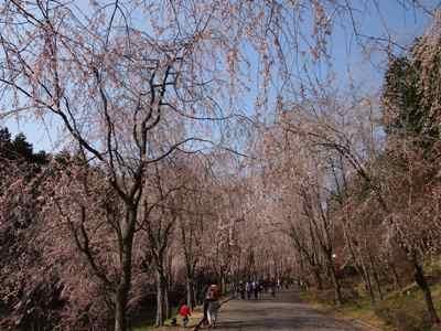 枝垂れ桜_甲山ふれあいの里_20130415_24_hp.jpg
