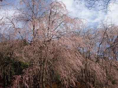 枝垂れ桜_甲山ふれあいの里_20130415_36_hp.jpg