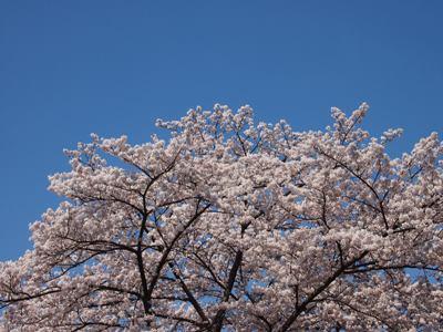 桜_グリーンライン_20120414_02_hp.jpg