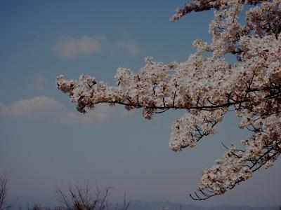 桜_グリーンライン_20120414_05_hp.jpg