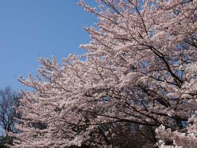 桜_グリーンライン_20120414_10_hp.jpg