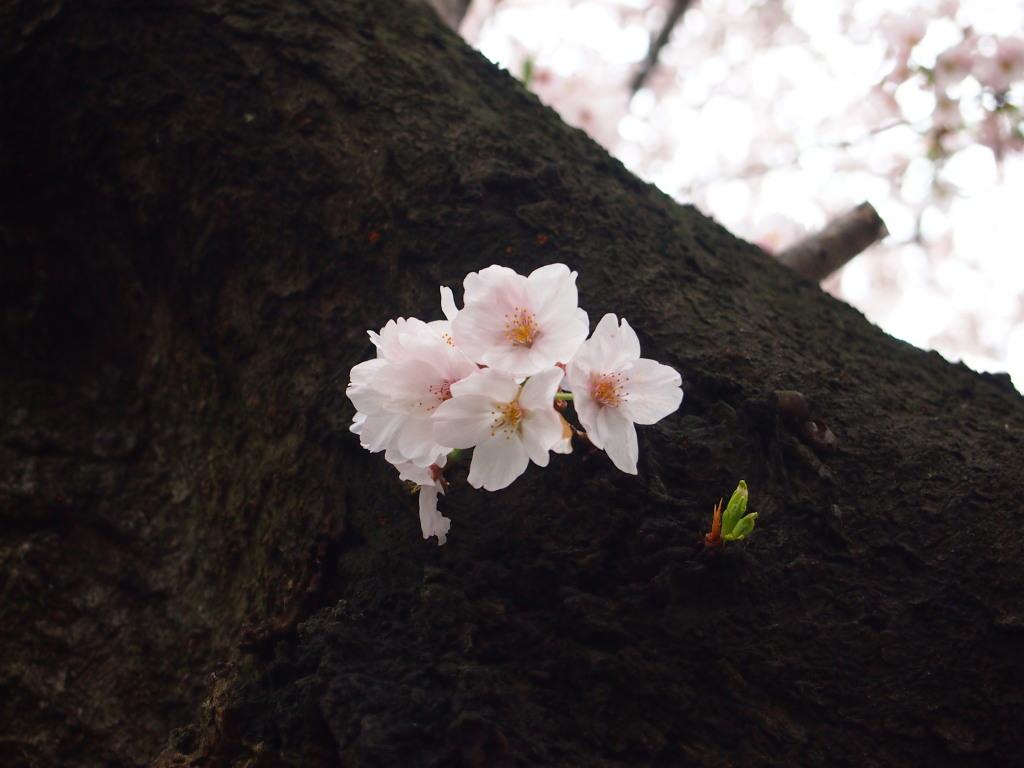 桜_北越谷元荒川_20170408_047_L.jpg