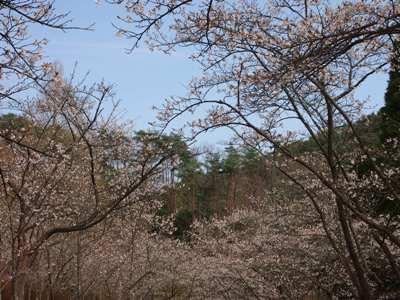 桜_甲山ふれあいの里_20130415_05_hp.jpg