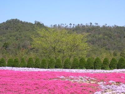 芝桜_花夢の里ロクタン_20100425_09_hp.jpg