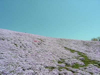 芝桜_花夢の里ロクタン_20100425_41_hp.jpg