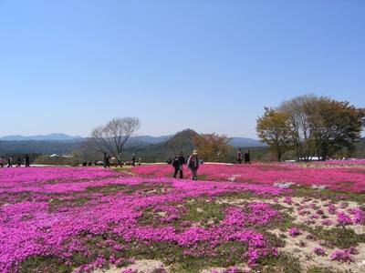 芝桜_花夢の里ロクタン_20100425_45_hp.jpg