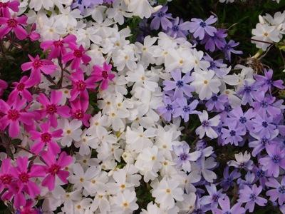 芝桜_花夢の里ロクタン_20120429_107_hp.jpg