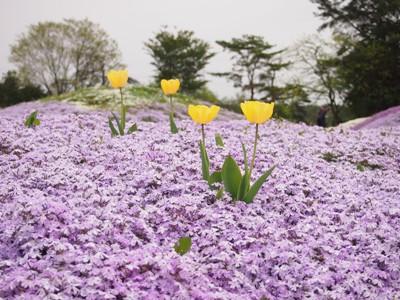 芝桜_花夢の里ロクタン_20120429_109_hp.jpg