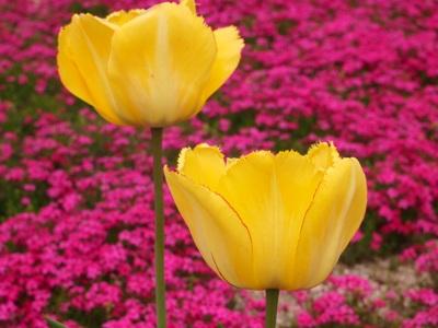 芝桜_花夢の里ロクタン_20120429_122_hp.jpg