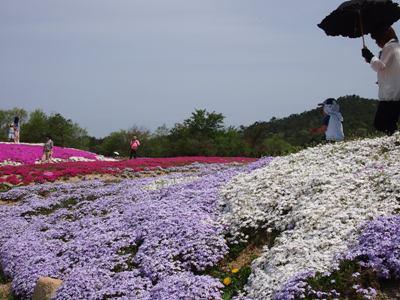 芝桜_花夢の里ロクタン_20120429_13_hp.jpg