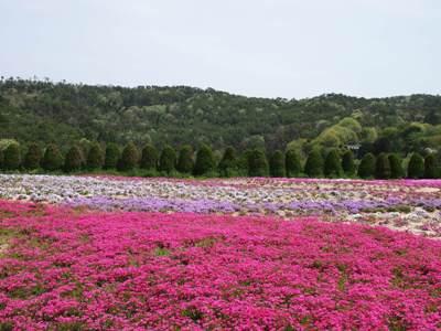 芝桜_花夢の里ロクタン_20120429_14_hp.jpg