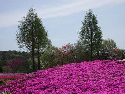 芝桜_花夢の里ロクタン_20120429_15_hp.jpg