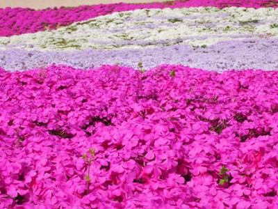 芝桜_花夢の里ロクタン_20120429_37_hp.jpg