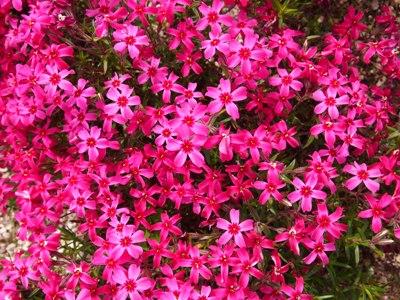 芝桜_花夢の里ロクタン_20120429_61_hp.jpg