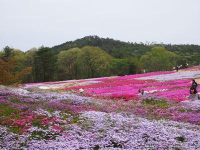 芝桜_花夢の里ロクタン_20120429_82_hp.jpg