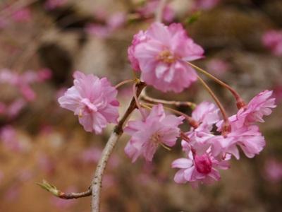 枝垂れ桜_甲山ふれあいの里_20130415_45_hp.jpg