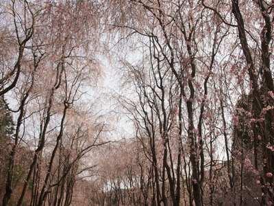 枝垂れ桜_甲山ふれあいの里_20130415_67_hp.jpg